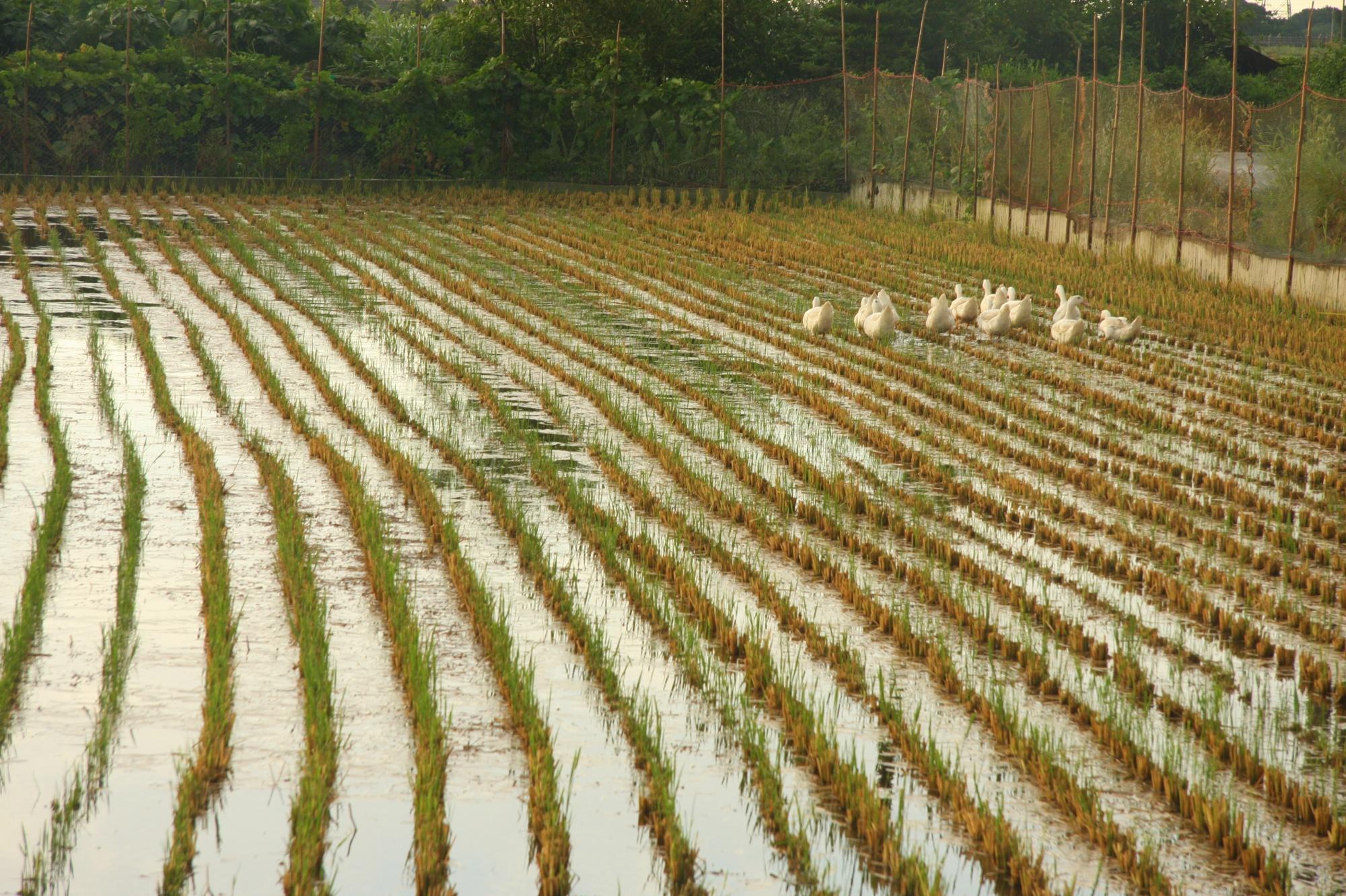 北港水埔里生產幸蝠米的田, 沒有使用農藥